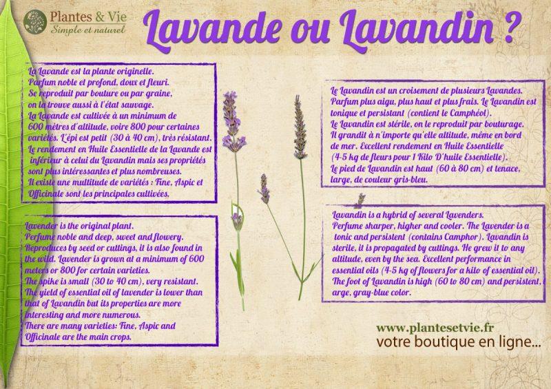 Différence Lavande et Lavandin